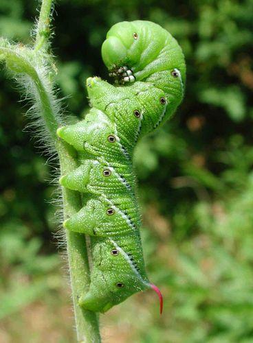 Tomato-hornworm